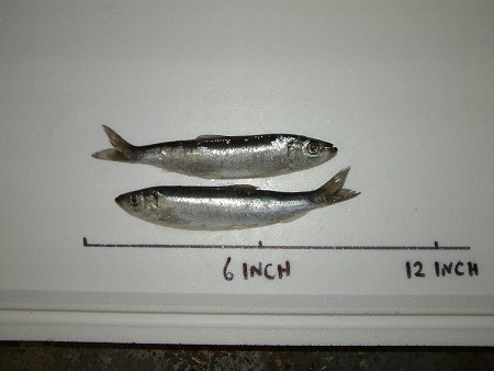 Bulk Mini Herring x 30 product image