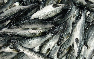 "SALMON SMOLTS  approx 6"" product image"
